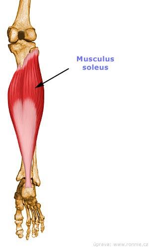 Soleus muskel