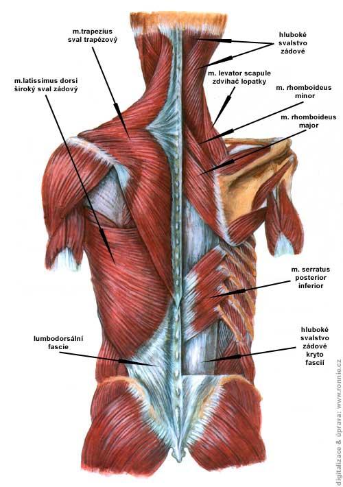 Zádové svaly anatomie